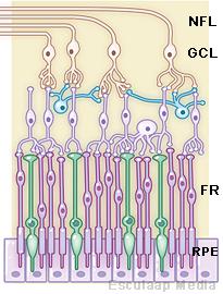 fotoreceptoren