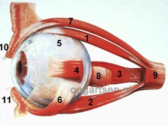 oogbol en oogspieren